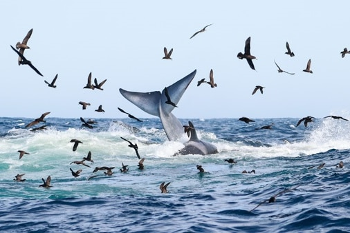 Birds fly over the ocean as a whale's fin thrashes above the water.