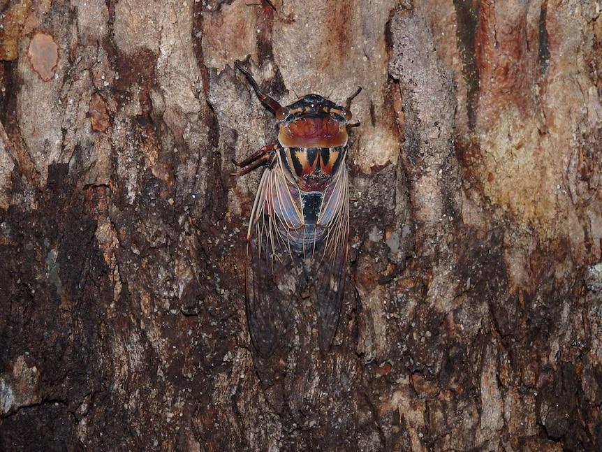 Eastern double drummer cicada (Thopha saccata)