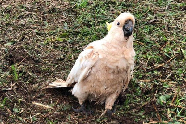 Cockatoo that survived a wild hail storm walks on grass at a property