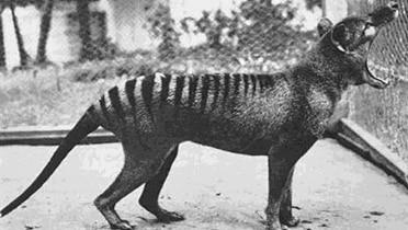 Benjamin, the last thylacine in captivity, at Beaumaris Zoo Hobart in 1933.
