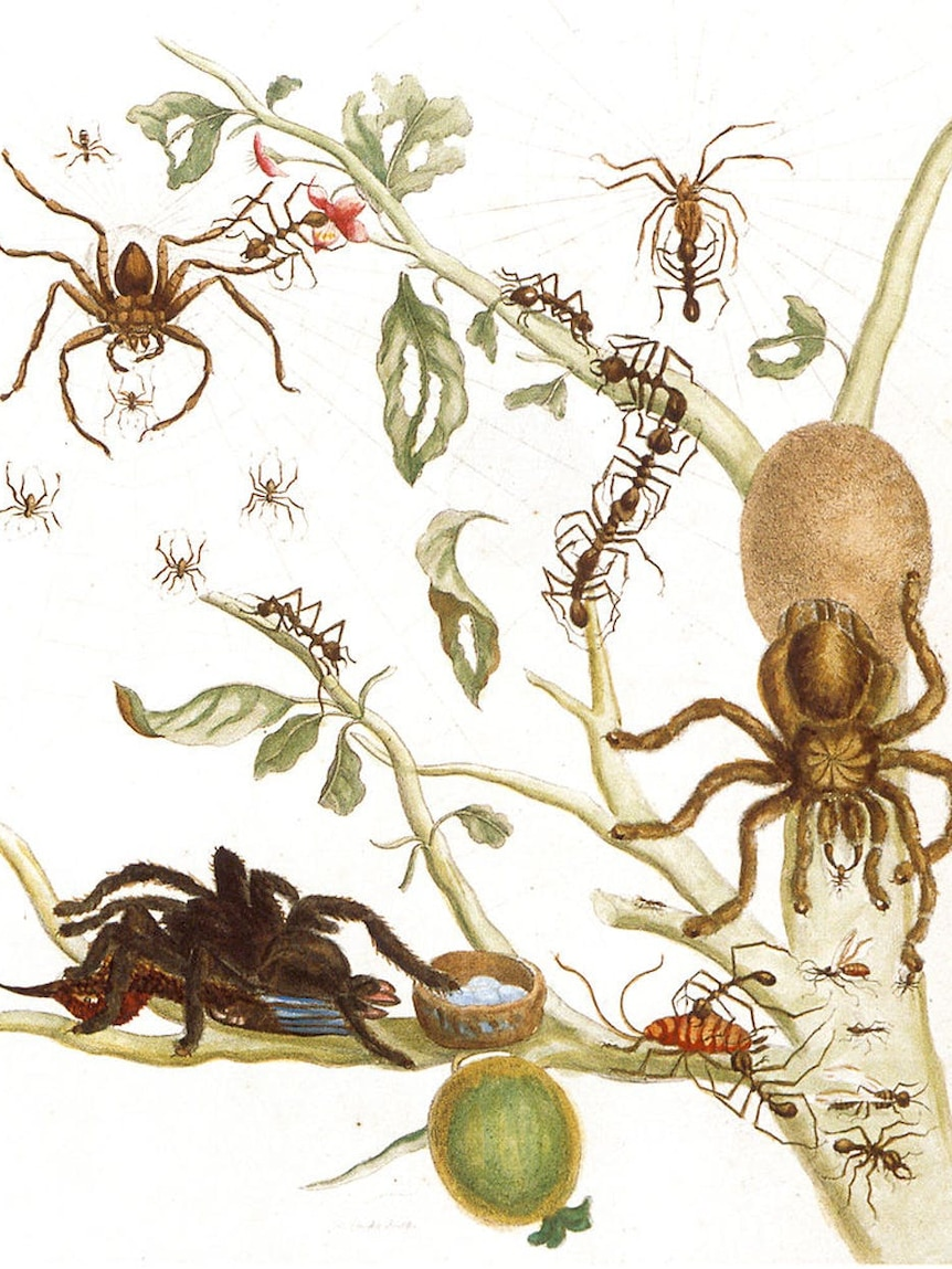 A coloured copper engraving from Metamorphosis Insectorum Surinamensium, Plate XLIII.