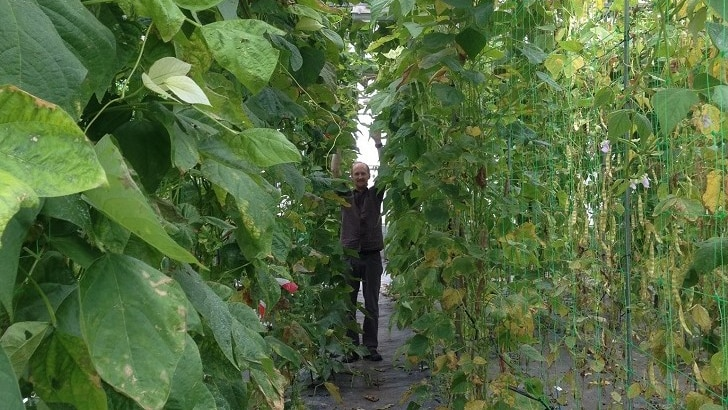 Play Audio. a man stands amongst giant beanstalks in a glasshouse. Duration: 12 minutes 30 seconds