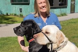 A veterinary nurse smiles as she pats two labradors on leads.