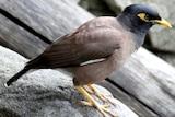 An Indian Myna bird.