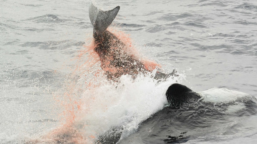An orca upside down pushing a Cuvier's beaked whale with its belly in the ocean. The tale of the beaked whale is above the water