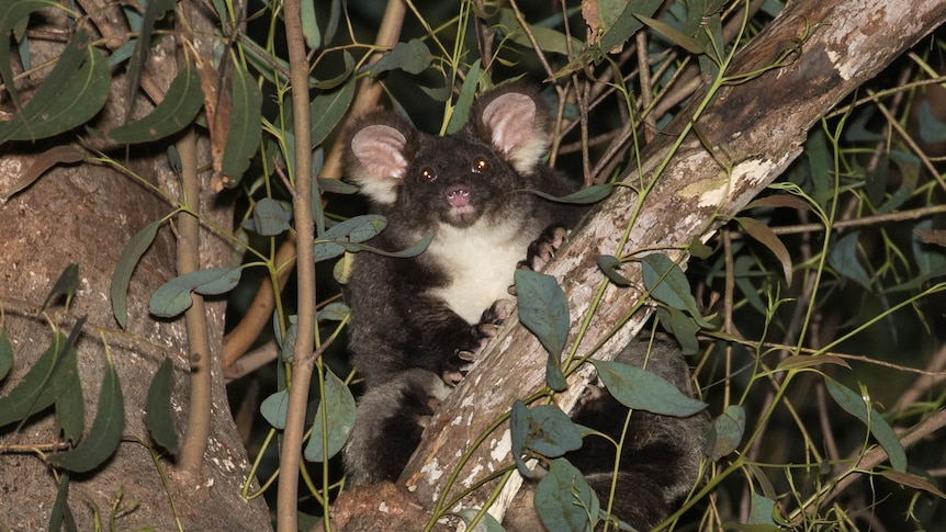 A grey and white furry glider sits in a tree among leaves at night