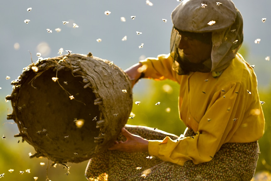 Bees fly around a kneeling woman wears veiled beekeeper mask and yellow top holds bee hive on sunny day in countryside.