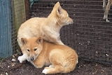 Two dingo cubs sitting together.