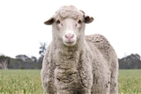 A sheep stands in a paddock eating grass