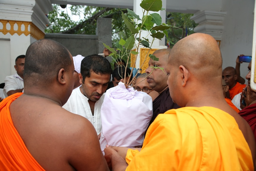 Buddhist monks in saffron and white robes gather around a tree sapling as it is sent on its way to Australia
