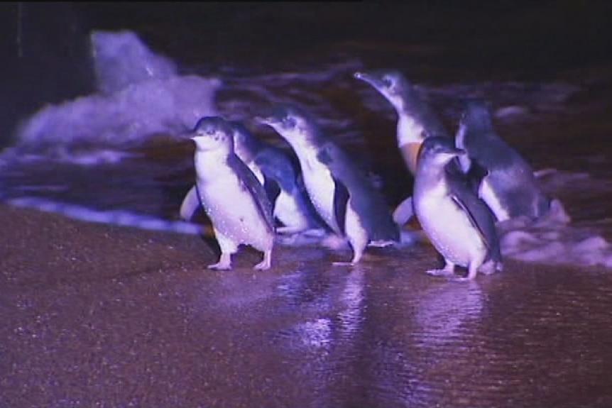 Little penguins at Low Head, Tasmania.
