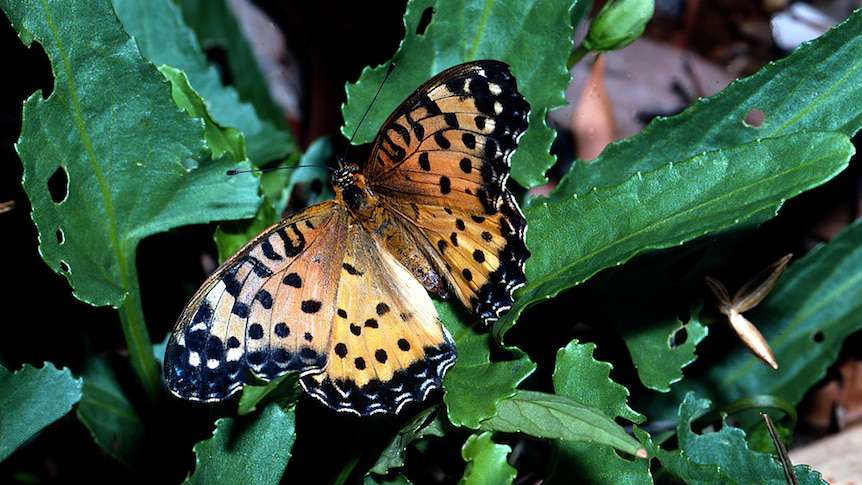 An orange butterfly with black dots sitting on a green leaf.