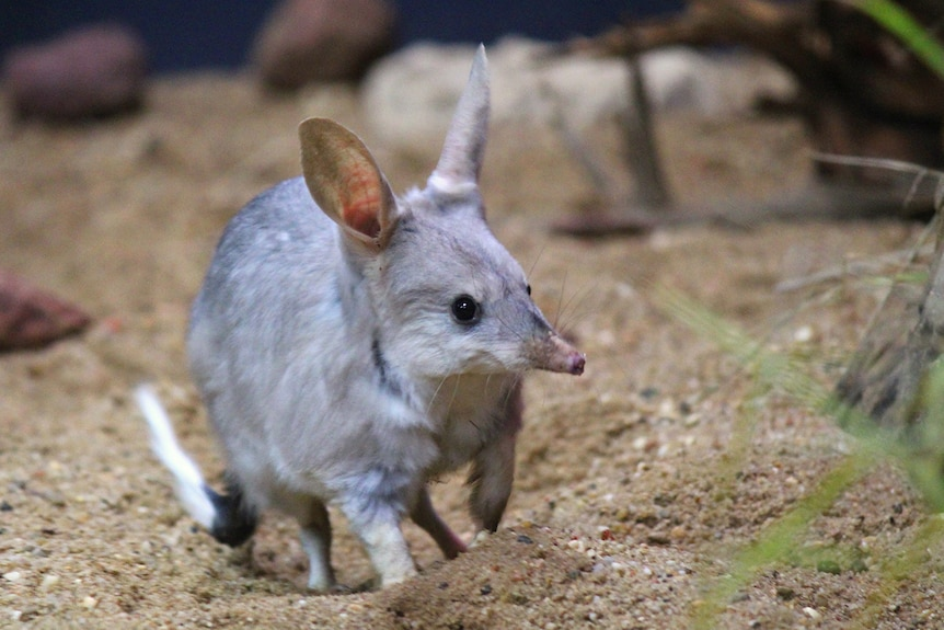 A bilby stands in the dirt inside its enclosure at the Charleville Bilby Experience.