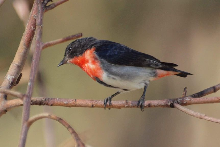 A small bird with black on its head and back and red and white on its front, sitting on a branch