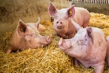 Three female pigs sitting on straw at a piggery.