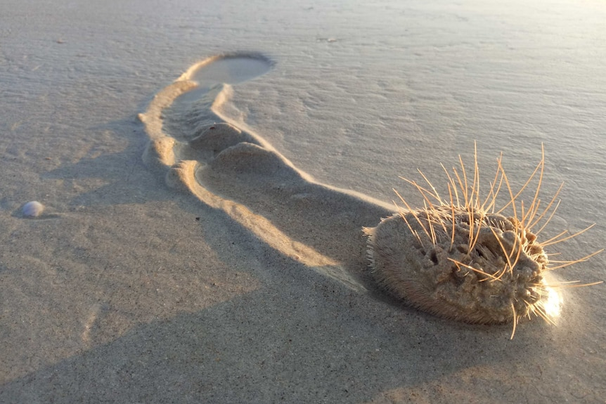 A heart urchin will long spines leaves a track in the wet beach sand.