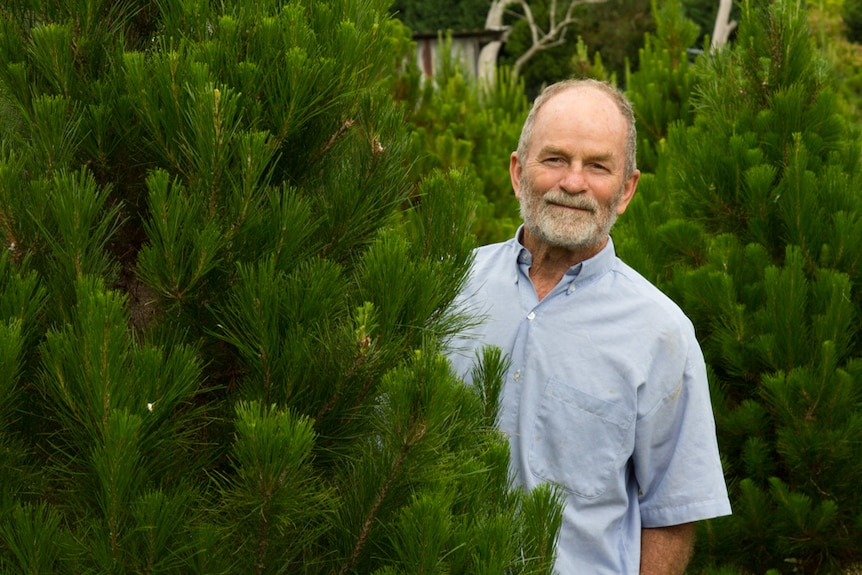 Christmas tree farmer Ron Junghans peeks out from behind a pine tree