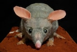 A cake in the shape of a bilby, grey in colour, with pink ears.