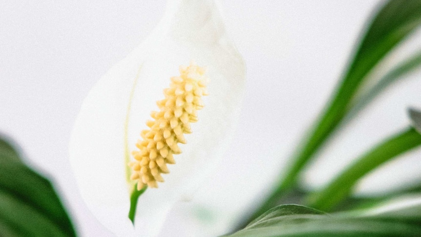 Close-up of peace lily plant and white flower blooming.