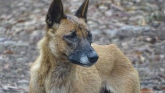 a black and brown skinned dingo on the beach
