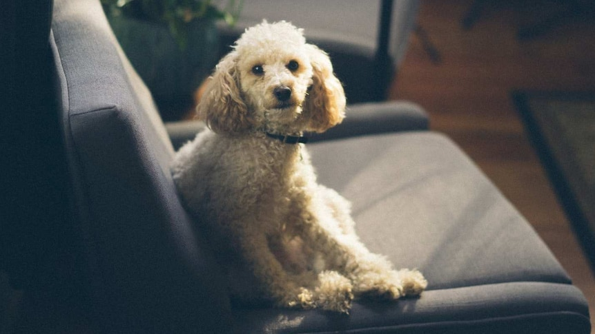 Poodle dog sitting on couch for story about adoption during coronavirus