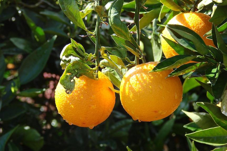 Juicy oranges hanging on after a spring shower.