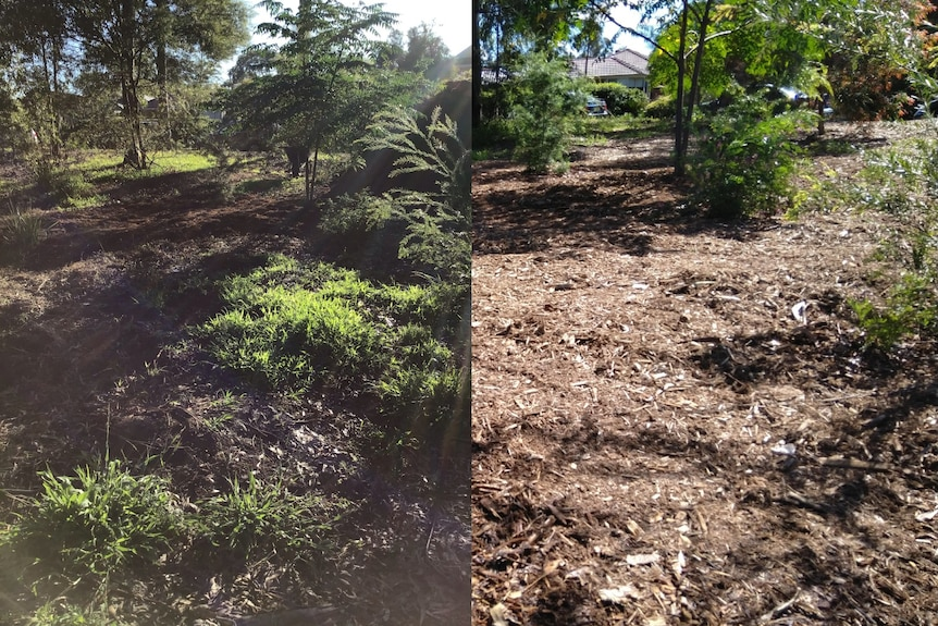 Composite images of a bushland area - image on the left is filled with weeds and the right is just mulch.