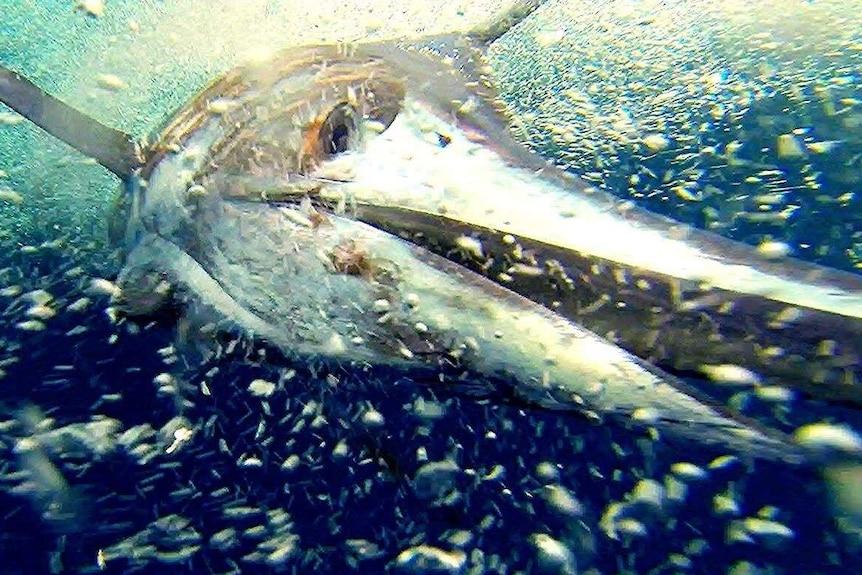 Underwater shot of a marlin