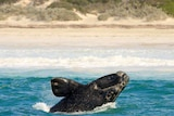 A whale calf  can be seen beaching water very close to shore.