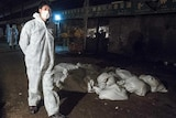 A Chinese health worker watches over the bags of dead chickens at Huhuai wholesale agricultural market in Shanghai on April 5, 2013.