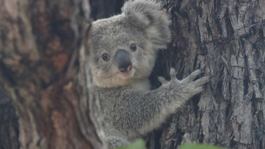 A koala sits in a tree.