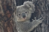 A koala in a gumtree looks at the camera