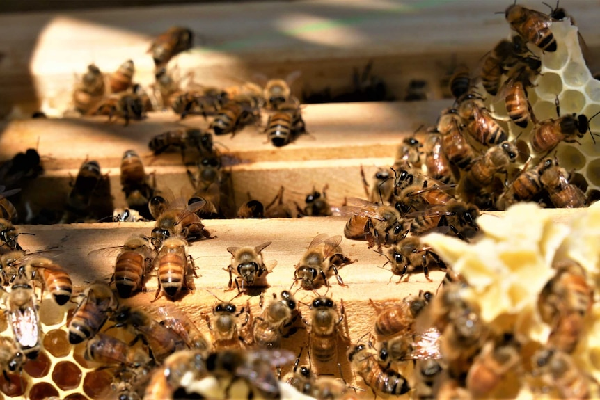 Honey bees are busy working in their hive crawling in between panels and on honeycomb