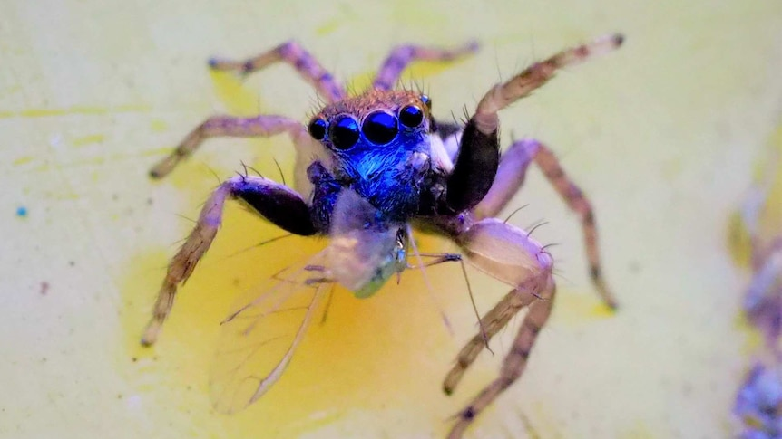 A bright blue spider with a row of eyes and near-translucent legs.