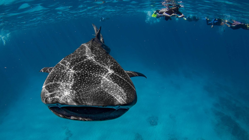 An underwater photo of snorkelers swimming with a whale shark.