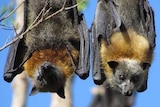 Two Flying Foxes
