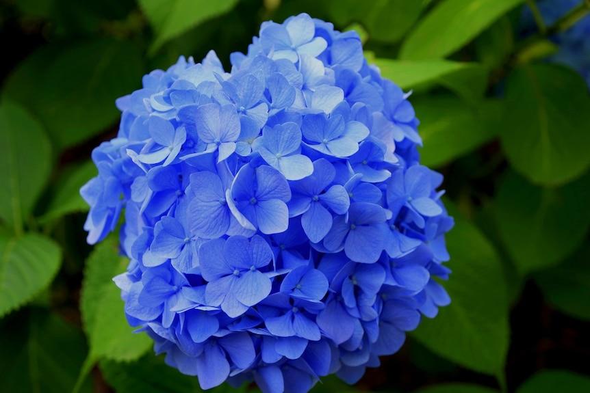 A bunch of blue hydrangeas