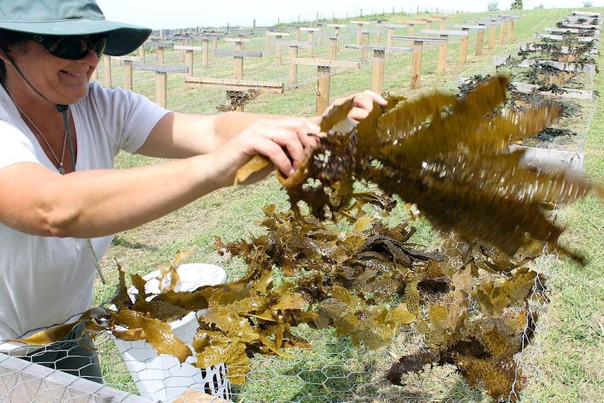 Jo Lane placing kelp on racks to dry before processing