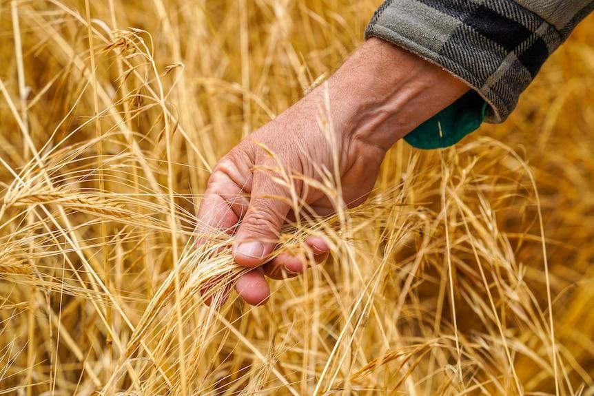 Farmer's hand feels ripe yellow barley