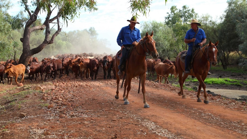 Two drovers on horseback lead a mob of cattle through a paddock.