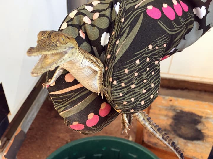 A close up of the baby crocodile being held in an oven mitt.