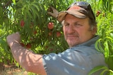 A picture of a man picking a peach from a branch covered in the fruit, as he looks at the camera.