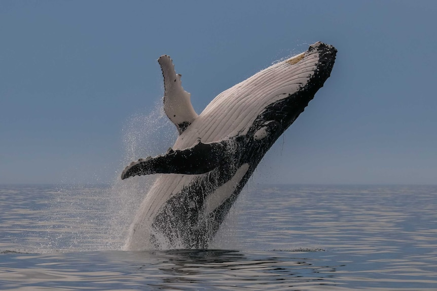 Humpback whale breaching off Port Macquarie on the NSW Mid North Coast