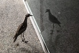 A bush stone-curlew looking at its reflection at QUT