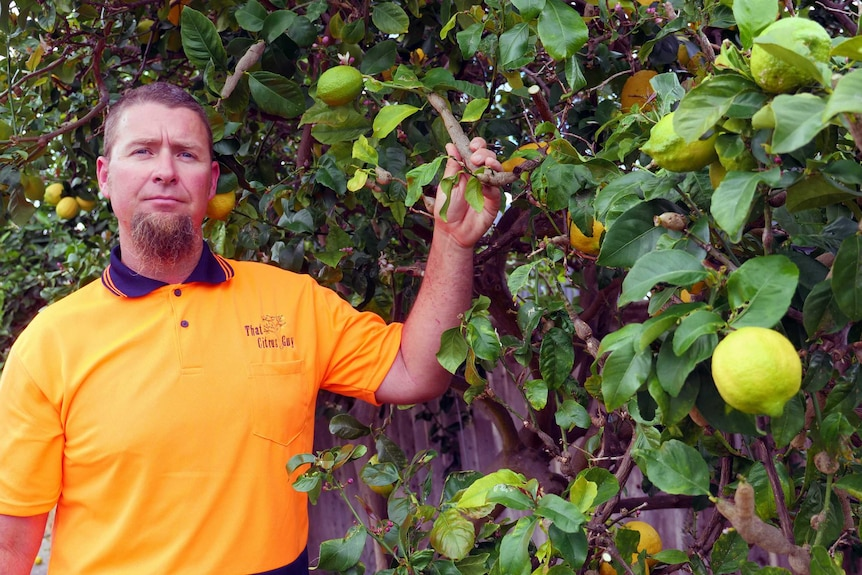 A man stands near a tree infested with gall wasp