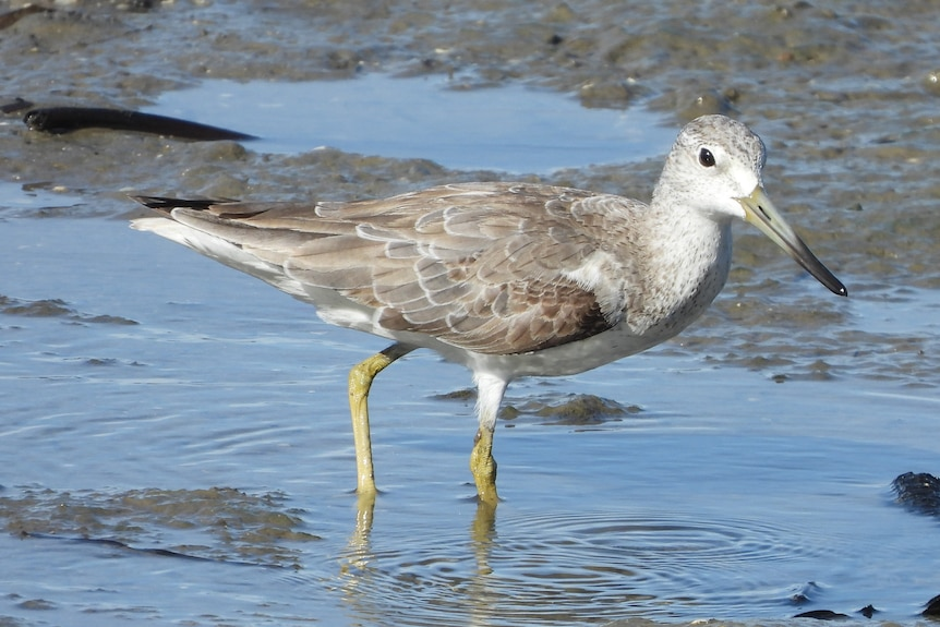 Shorebird with long yellow legs and curve-tipped beak