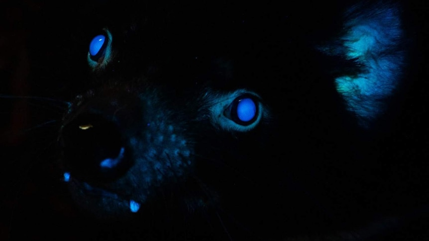 The eyes, ears, teeth and nose of a Tasmanian devil glowing blue in the dark.
