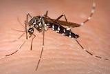 Mosquito biting human skin.