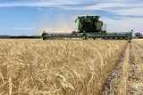 A header approaches the camera whilst harvesting barley.