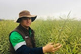 A man in a brown hat inspecting his tall canola crop.